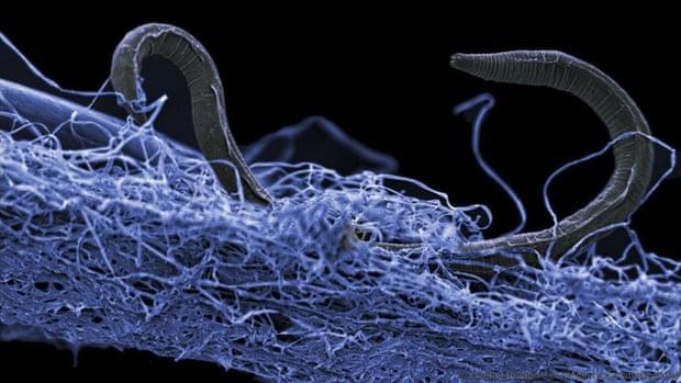 Un nematoda (Poikilolaimus sp.), que vive a 1,4 kilómetros de profundidad en el suelo.